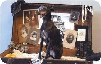 Italian Greyhound Dog for adoption in Costa Mesa, California - Spike - OC