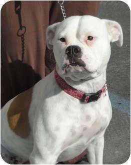 American Bulldog/American Pit Bull Terrier Mix Dog for adoption in Santa Ana, California - Molly