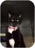 Domestic Shorthair Cat for adoption in Stillwater, Oklahoma - Sebastion