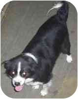 Tibetan Spaniel Mix Dog for adoption in Pennington Gap, Virginia - Cutie Pie