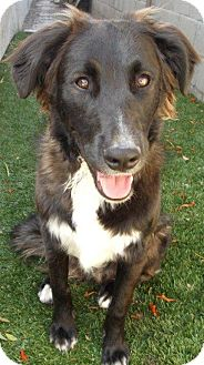 Australian Shepherd Mix Dog for adoption in Irvine, California - DAKOTA