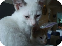 Siamese Kitten for adoption in Tampa, Florida - Pretty Kitty