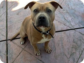American Bulldog/English Bulldog Mix Dog for adoption in Sacramento, California - Tyson