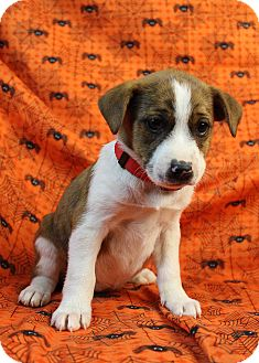 St. Bernard/Boxer Mix Puppy for adoption in Westminster, Colorado - Da-Bomb