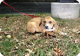 Labrador Retriever/Hound (Unknown Type) Mix Puppy for adoption in Randolph, New Jersey - Ginn