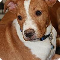 Adopt A Pet :: Ryan - Phoenix, AZ