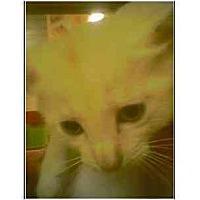Adopt A Pet :: Goldilocks - Owasso, OK