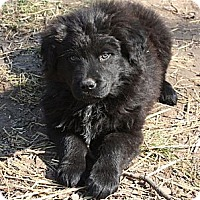 Adopt A Pet :: Daniel - PENDING, in Maine - kennebunkport, ME