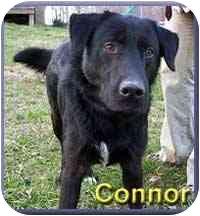 Labrador Retriever Mix Dog for adoption in Aldie, Virginia - Connor