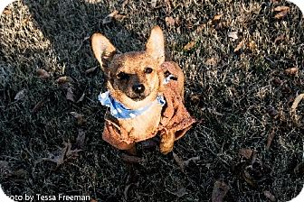 Chihuahua Mix Dog for adoption in Muldrow, Oklahoma - Brooklin