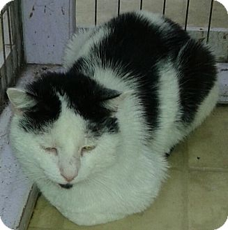 Domestic Shorthair Cat for adoption in Whittier, California - Skyler