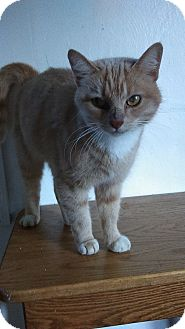 Domestic Shorthair Cat for adoption in Mt. Pleasant, Pennsylvania - Vegas