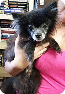 Pomeranian Dog for adoption in Chiefland, Florida - Pepper