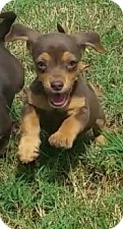 Chihuahua Mix Puppy for adoption in Richmond, Virginia - Chandler