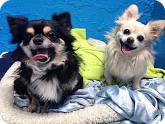 Chihuahua Dog for adoption in Pompton Lakes, New Jersey - Stephen and Damon Chihuahuas