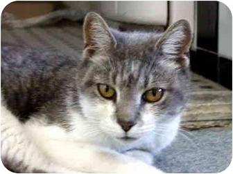 Domestic Shorthair Cat for adoption in Maspeth, New York - Lena Long Legs
