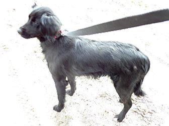 Flat-Coated Retriever/Border Collie Mix Dog for adoption in Chewelah, Washington - Midnight