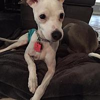 Italian Greyhound/Terrier (Unknown Type, Medium) Mix Dog for adoption in Richardson, Texas - Lou