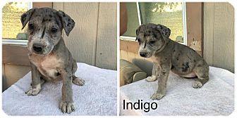 Catahoula Leopard Dog Puppy for adoption in Phoenix, Arizona - Indigo