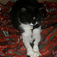 Domestic Shorthair Cat for adoption in Montreal, Quebec - Mlle Charlie