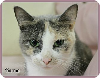 Calico Cat for adoption in New Richmond,, Wisconsin - Karma - No Adoption Fee!