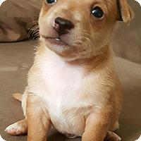 Adopt A Pet :: Sammy - Gilbert, AZ