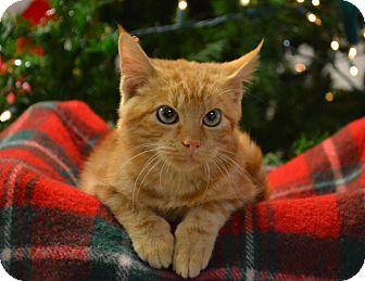 Domestic Shorthair Kitten for adoption in Lebanon, Missouri - Jingles