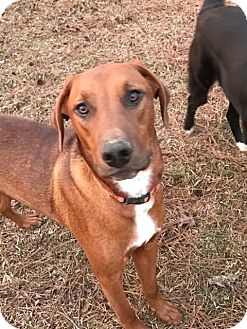 Hound (Unknown Type)/Labrador Retriever Mix Puppy for adoption in Sumter, South Carolina - Rico