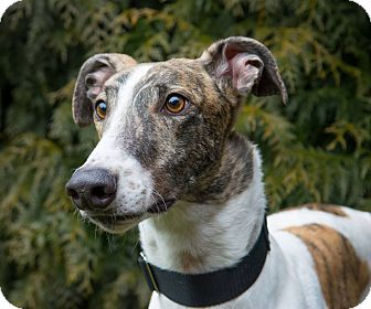 Greyhound Dog for adoption in Seattle, Washington - Jail
