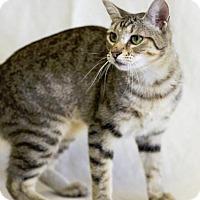 Adopt A Pet :: TIKI - Houston, TX