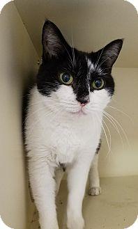 Domestic Shorthair Cat for adoption in Elyria, Ohio - Lulu