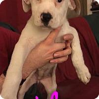 Adopt A Pet :: Ashley - Garden City, MI