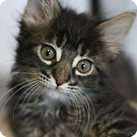 Adopt A Pet :: Chocolate Rose - Canoga Park, CA
