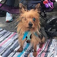 Adopt A Pet :: Percy - Martinsburg, WV