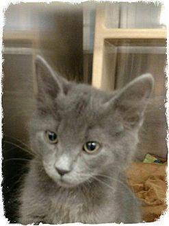 Domestic Mediumhair Kitten for adoption in Pueblo West, Colorado - Damien