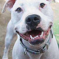 Boxer/Bulldog Mix Dog for adoption in West Allis, Wisconsin - Kiki Dee
