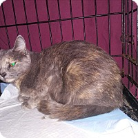 Russian Blue Cat for adoption in wayne, Michigan - Urgent -Lilly of the V II