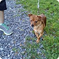 Chihuahua/Dachshund Mix Dog for adoption in Whitehall, Pennsylvania - Hunter