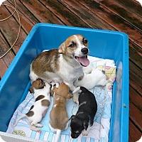 Adopt A Pet :: Iris and Pups - Wisconsin Dells, WI