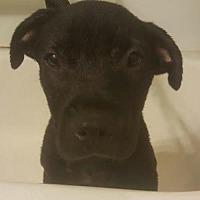 Adopt A Pet :: Buzz - Louisville, KY