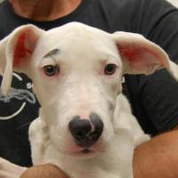 Adopt A Pet :: Sharon - Brooklyn, NY