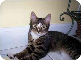 Maine Coon Kitten for adoption in Arlington, Virginia - Trey