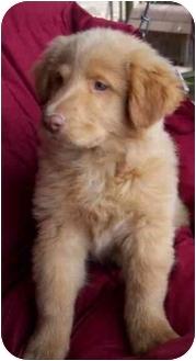 Golden Retriever/Spitz (Unknown Type, Medium) Mix Puppy for adoption in McArthur, Ohio - THEODORE