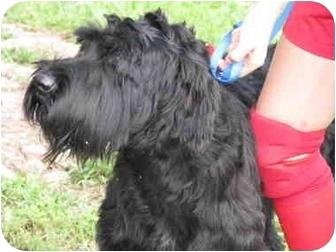 Giant Schnauzer Dog for adoption in Drumright, Oklahoma - Sophia