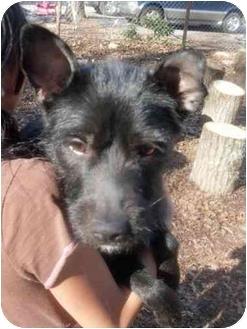Schnauzer (Miniature) Mix Dog for adoption in Foster, Rhode Island - Phoenix
