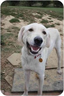 Labrador Retriever Mix Dog for adoption in Nanuet, New York - Jed