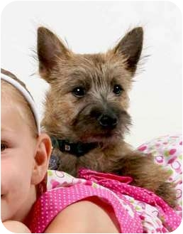 Cairn Terrier Puppy for adoption in Sacramento, California - Dewey PENDING