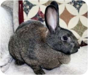 Flemish Giant Mix for adoption in Maple Shade, New Jersey - Koko