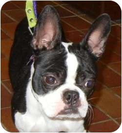 Boston Terrier Mix Dog for adoption in Des Moines, Iowa - Daisy