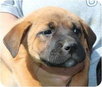 Labrador Retriever/Boxer Mix Puppy for adoption in Hagerstown, Maryland - Lemonhead